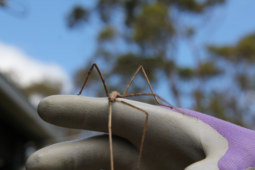 Stick Insect on hand