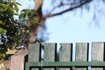 Male Superb Fairy Wren in moult
