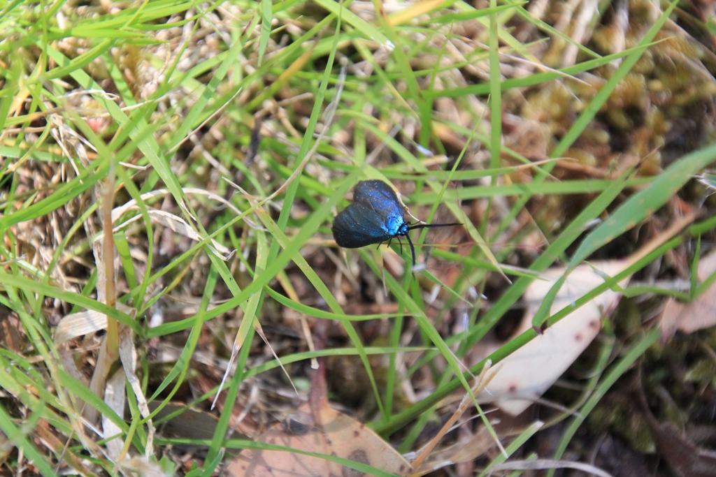 Zygaenoidea Moth