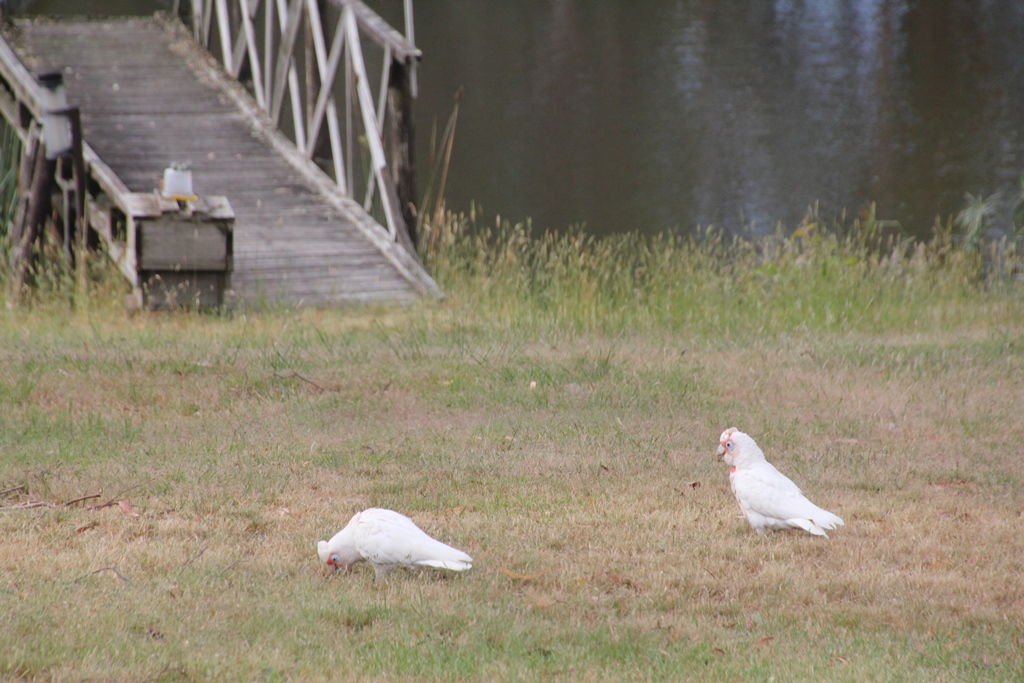 The Corellas stayed for about an hour.