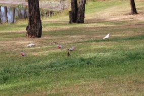 Corella with Galahs and Crimson Rosella