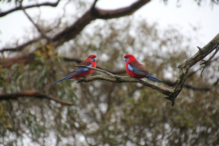 Pair of Crimson Rosella