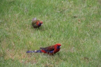 Adult and Immature Crimson Rosella grazing on grass seeds