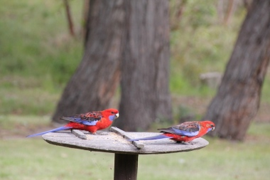 Crimson Rosella on Bird Feeder