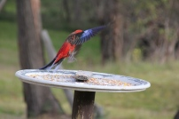 Crimson Rosella in flight