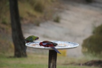 Young Crimson Rosella