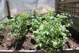 Potatoe plants