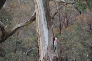Galah exploring new tree