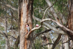 Galah Tree Hollow