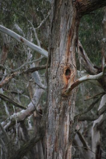 Gala nest
