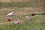 Galahs with corella and crimson rosella