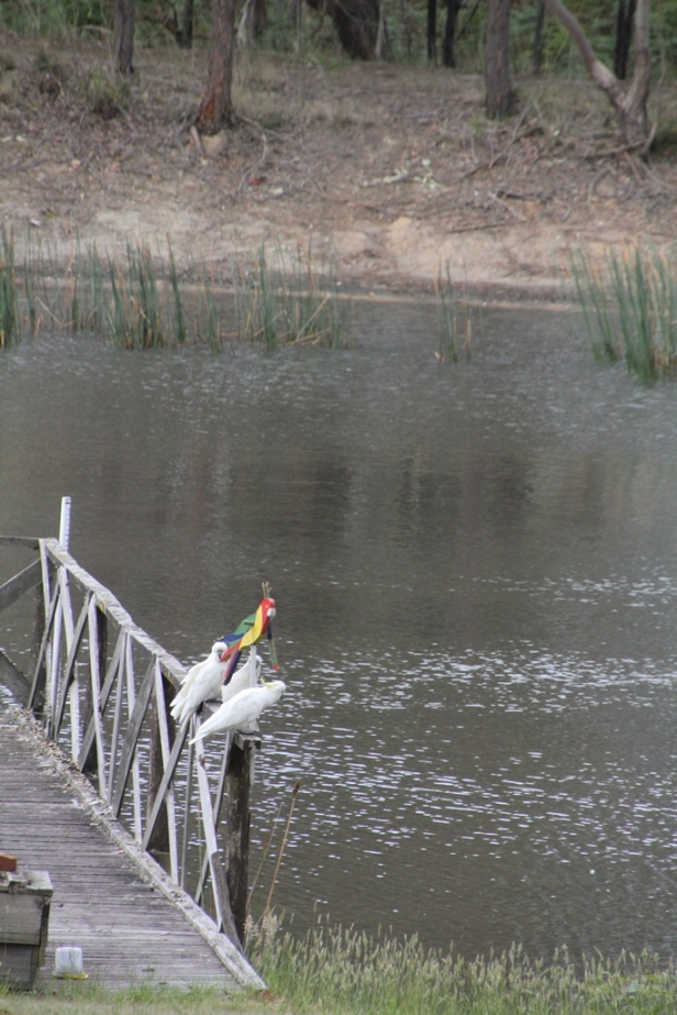 Cockatoos on the jetty