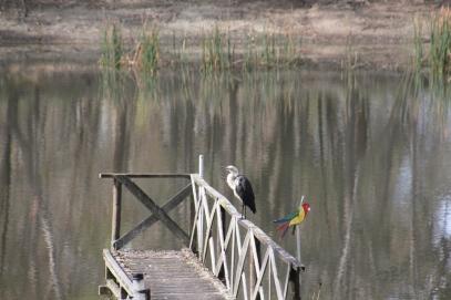 White Necked Heron on Jetty