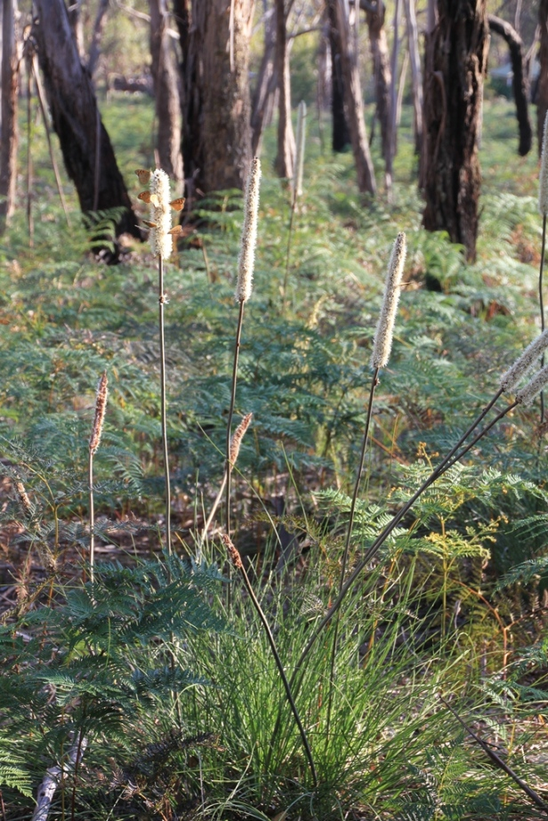 Xanthorrhoea Resinosa and butterlies