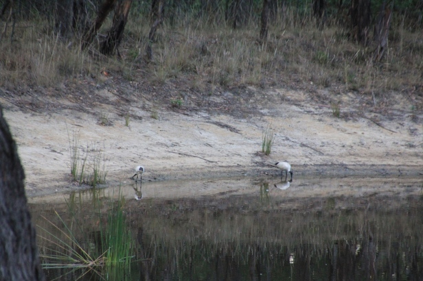 Australian White Ibis.