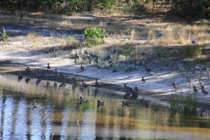 Flock of Australian Wood Duck