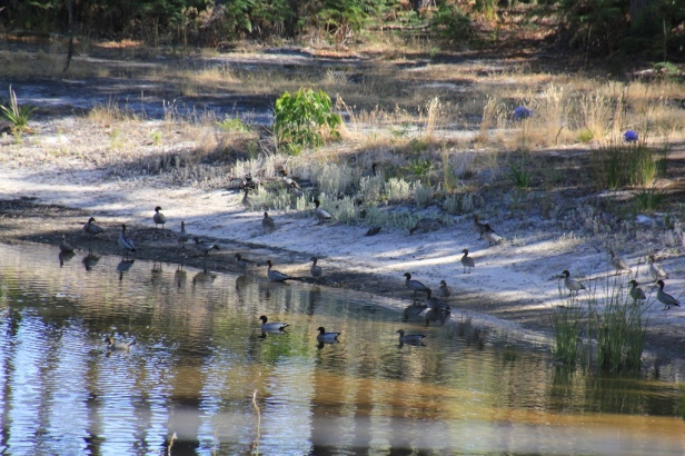 Flock of Australian Wood Duck