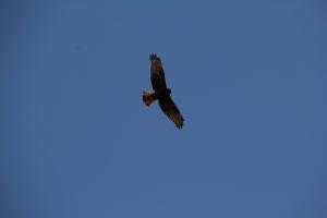 Black Kite in flight.