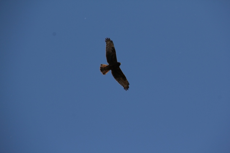 Black Kite in flight.