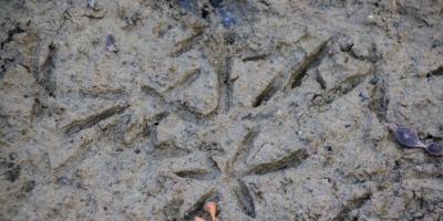 Wading bird footprints in mud