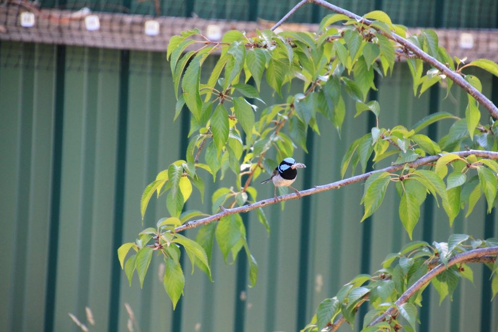The Fairy Wrens and the Cat Enclosure: A happy story