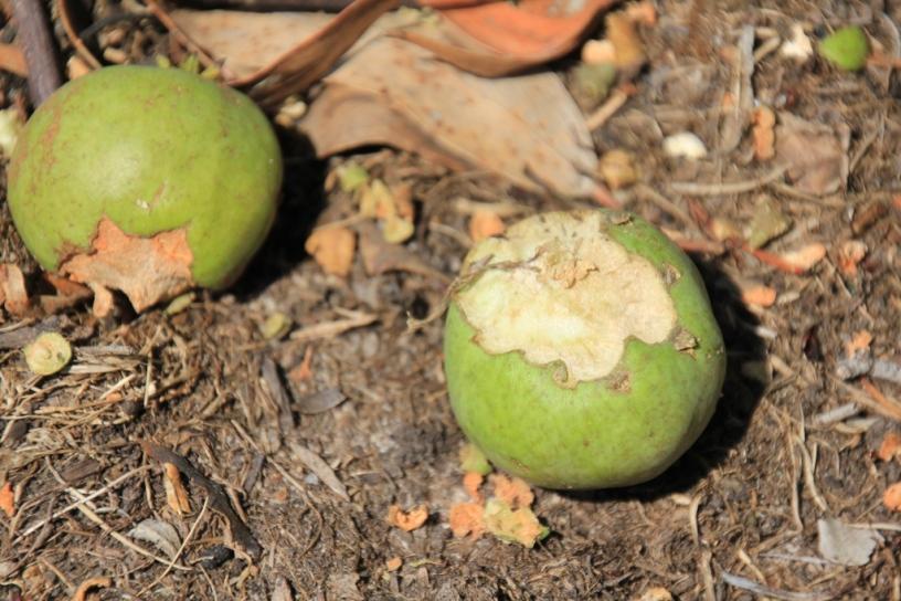 Bird-eaten pears