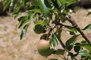 Apples growing on a tree.