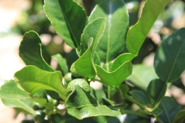Kafir Lime Tree