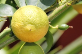 Another lime tree we bought with us, the Tahitian Lime is also fruiting well.