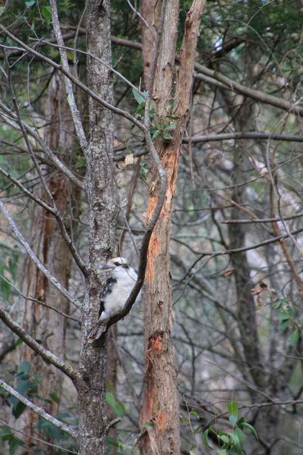 This Kookaburra seems to be solitary, but is probably a subordinate to the dominatent pair,