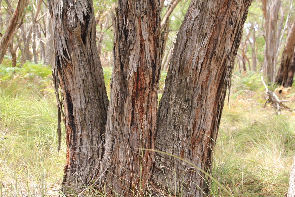 Rough-barked tree trunks