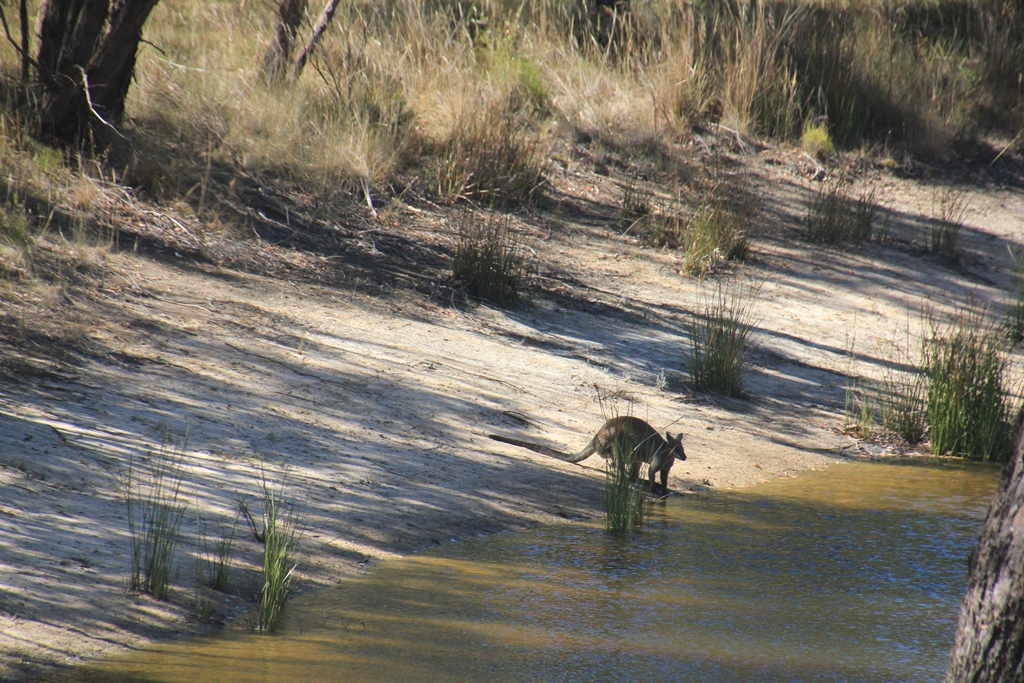 Too hot for swamp wallabies, and for me too!