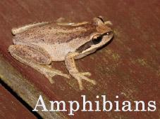 Amphibians_Thumb