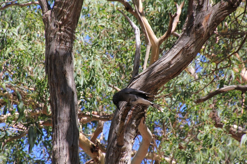 Blackwing Currawong