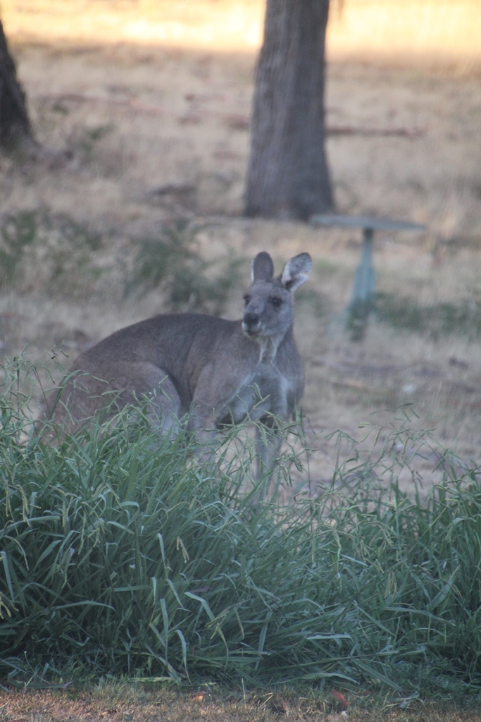The Eastern Grey Kangaroo has an open square jawed face and is less stocky than the Swamp Wallaby. It is probably taller when sitting upright.