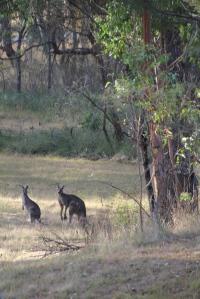 A pair of Eastern Grey Kangaroos