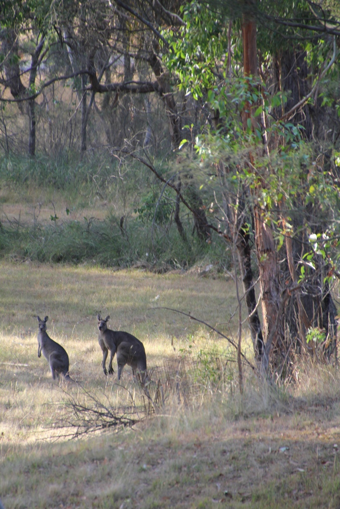A pair of Eastern Grey Kangaroos