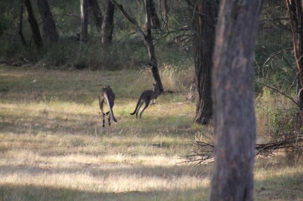 lFleeing Eastern Grey Kangaro