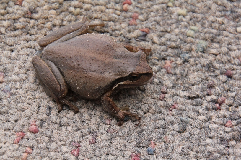 Southern Brown Tree Frog