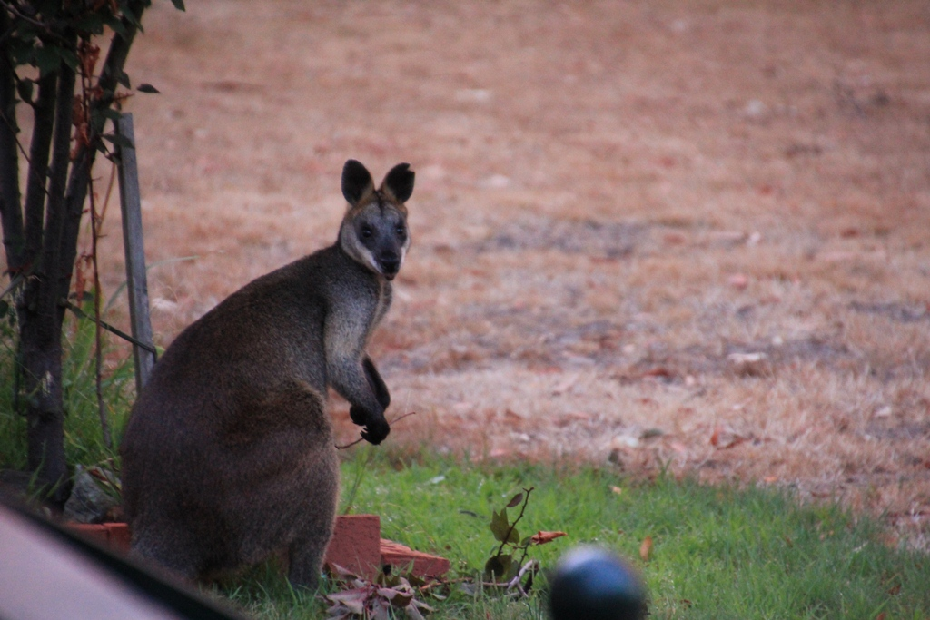 Swamp Wallaby 2: Ornamental Plum Breakfast