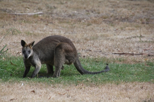 Swamp Wallaby feeding