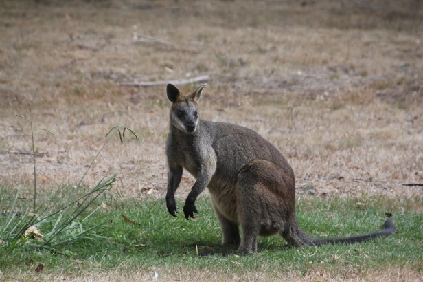 Compared with the Eastern Grey Kangaroo, the Swam Wallaby has very pwerful looking claws and is of a stocker build, but smaller.
