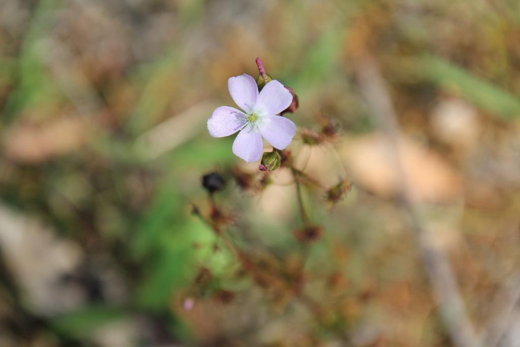 Tall Sundew – Carnivorousplant