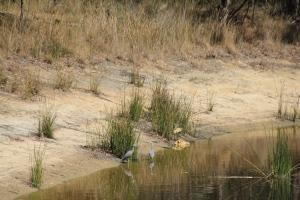 White Faced Herons Fishing