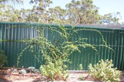 Banksia Roase regrowth