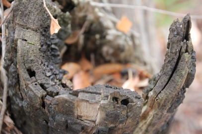 Burned Out Stump