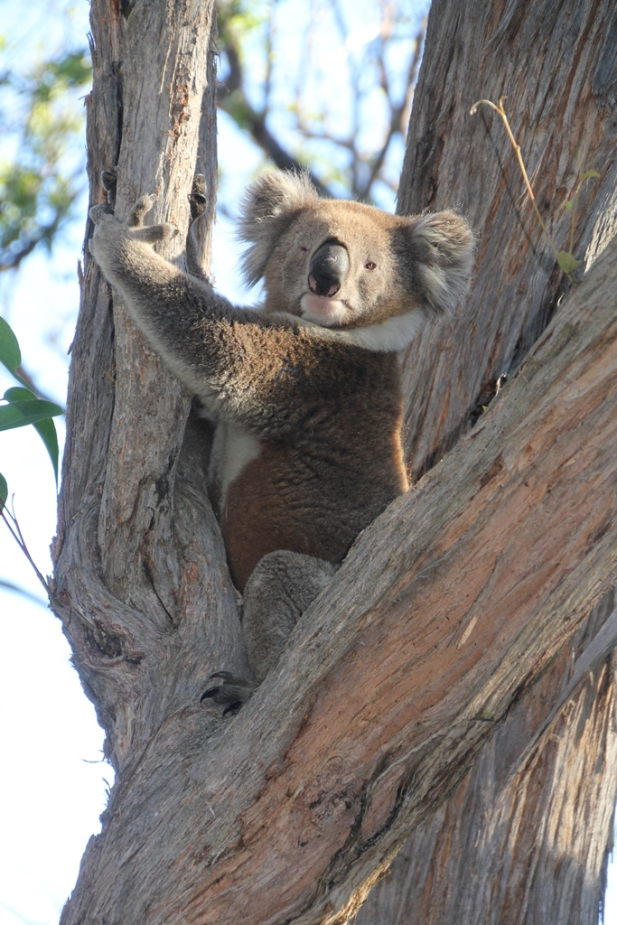 In the setting sunlight, it is easy to see the colour variations inthe koala's fur.