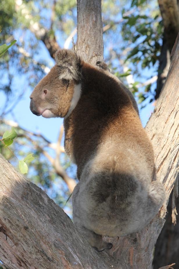 Koala -back view