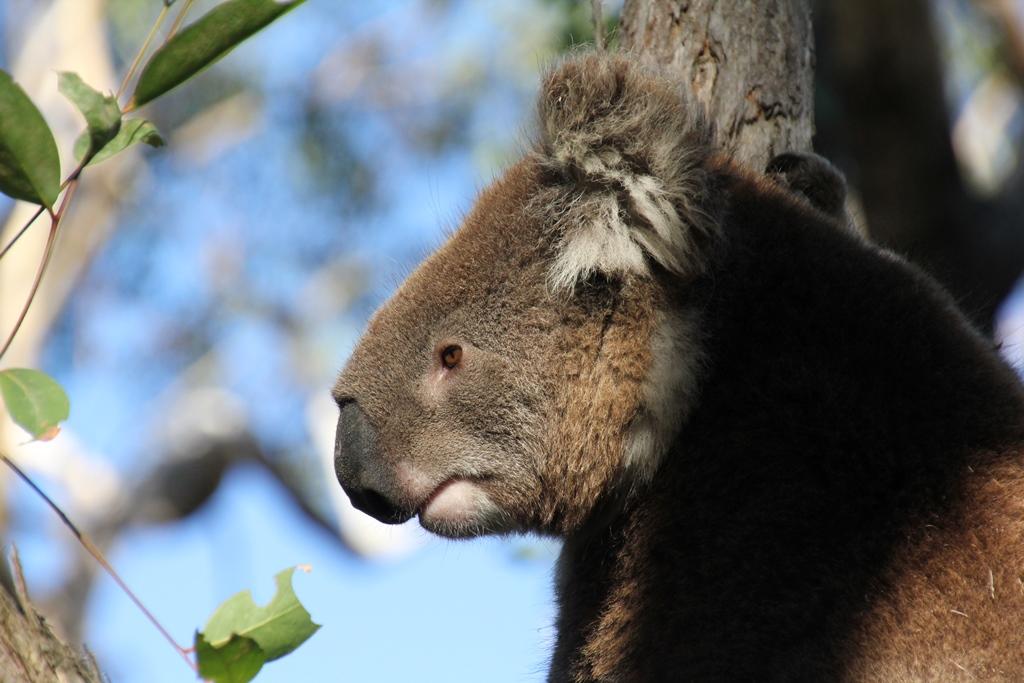 Koala close-up
