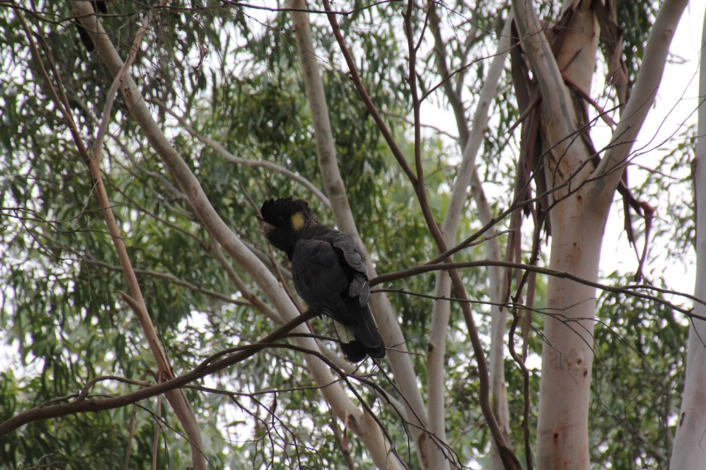 Yellow Tailed Black Cockatoo Female
